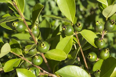 guayaba: amarilla inmadura fresa fruta de guayaba en verano