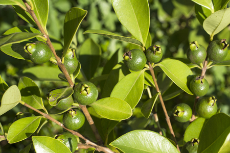 Immature yellow strawberry guava fruit in summer Stock Photo