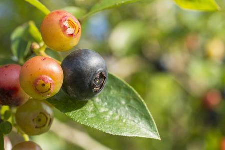 maturity: Close up blueberry immature and maturity fruit Stock Photo