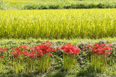 Red spider lily flower blooms in clusters