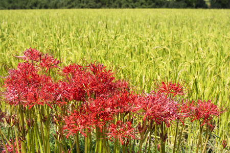 spider lily: Red spider lily flowers cluster in front of rice field