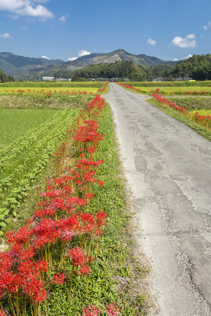 Red spider lily flowers beside farm road in vertical composition Stock Photo