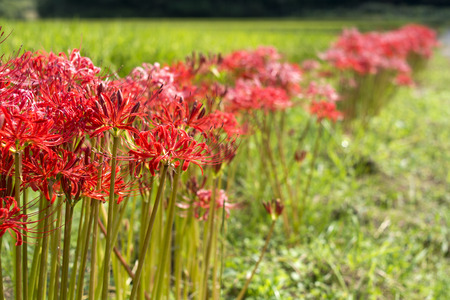 spider lily: Lined red spider lily flowers and blur in green field