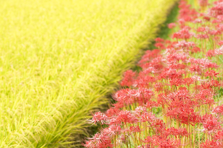 spider lily: Red spider lily flowers beside rice field Stock Photo