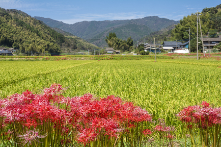 Lined red spider lily flowers in front of autumn rural scenery Stock Photo