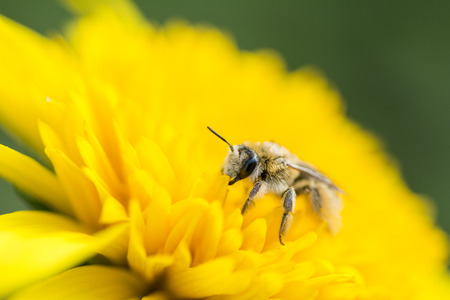helianthus: Close up of bee on bright yellow helianthus flower