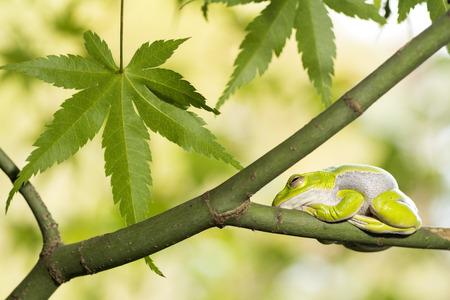 animals amphibious: Schlegels green tree frog resting on maple tree Stock Photo