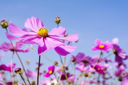 Pale pink cosmos flower field under blue sky stock photo picture pale pink cosmos flower field under blue sky stock photo 69988238 mightylinksfo