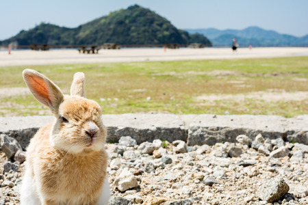 A rabbit sitting on a gravel looking at front in Ookuno island