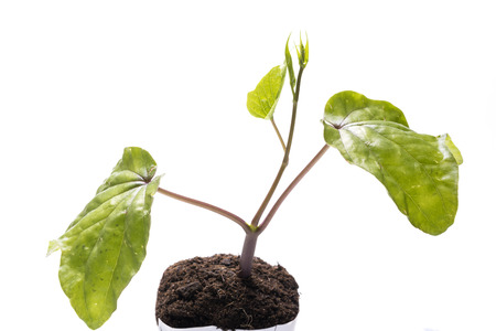 moonflower: Green moonflower (Ipomoea alba) sprout growing on plastic pot over white