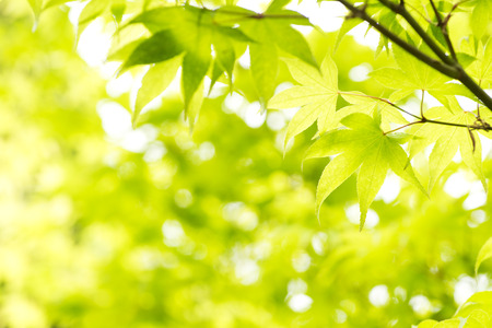 broad leaf: Green maple leaves (Acer palmatum var. amoenum) in front of green blurs Stock Photo