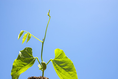 Green sword bean sprout under blue sky Stock Photo