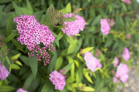 early summer: Corymb of pink japanese spiraea flowers in early summer