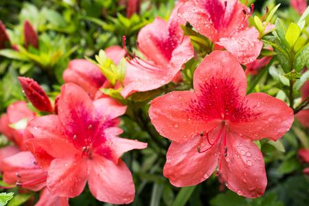 The bright vermilion azalea flowers (Rhododendron kaempferi) wet with rain Stock Photo