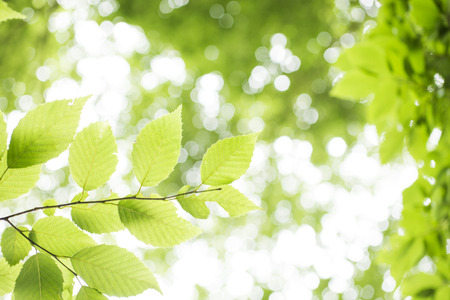 vividly: Fresh green carpinus tschonoskii leaves with branch growing in the left Stock Photo