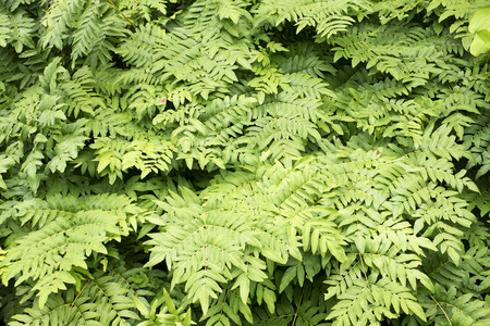 vividly: The ground covered fern leaves (Osmunda japonica) in summer