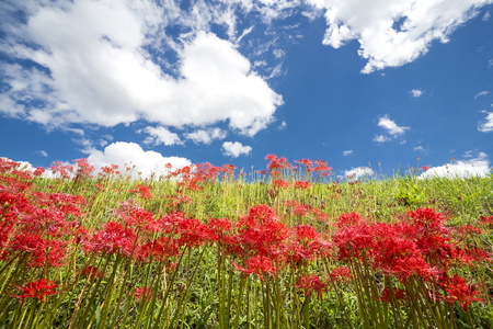 Looked up of red spider lily flower community blooming under sky