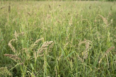 익은 일본 마당 기장 (Echinochloa esculenta) 필드 가을