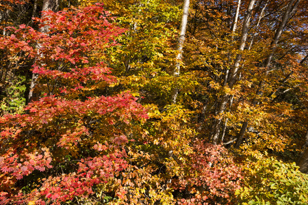 acer: Autumn red fullmoon maple leaves (Acer japonicum) and orange trees in Minakami, Gumna