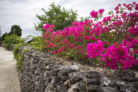 Deep shade pink bougainvillea flowers over stone wall in Taketomi island