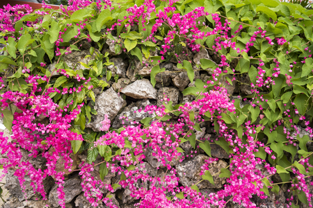 Close up pink coral vine flowers on stone wall