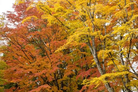 acer palmatum: Autumn yellow maple leaves in front of orange maple leeves in Yamanakako, Yamanashi Stock Photo