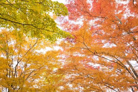 Colorful autumn maple leaves in Yamanakako, Yamanashi Stock Photo