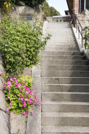 woodsorrel: Steps side of bright pink jointed woodsorrel flowers