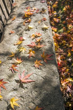 acer palmatum: Autumn maple fallen leaves on rectangle stone
