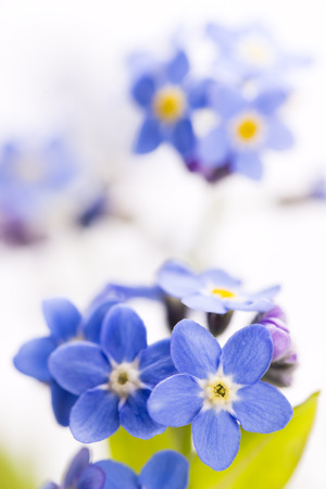 Close up blue Forget-me-not flowers on white background in vertical composition