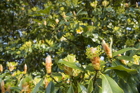 Machilus thunbergii tree flower which began to blossom