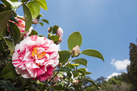 Pink splash patterned petals camellia flower under blue sky