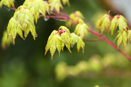 Before opening young green maple leaves (Acer palmatum) wet with rain Stock Photo