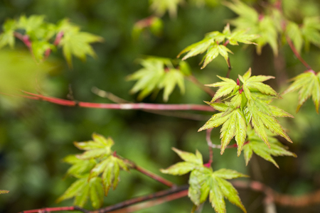 Fresh green maple leaves (Acer palmatum) wet with rain which over leaf green blurs