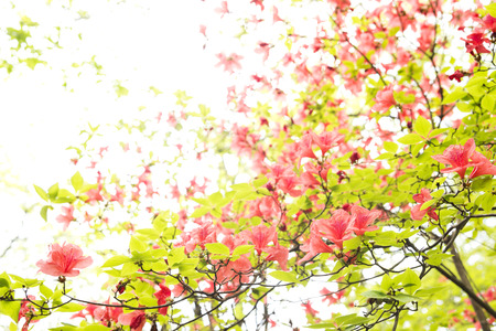 Vermilion azalea flowers in front of white background