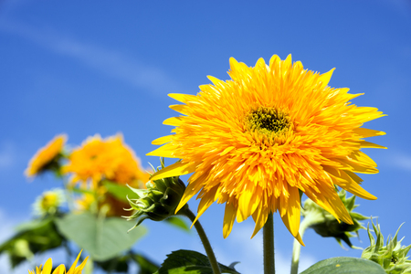 Close up yellow double sunflower under blue sky Banque d'images - 95766387