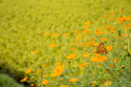 Yellow cosmos flowers with butterfly in front of rice field Banque d'images - 105471206