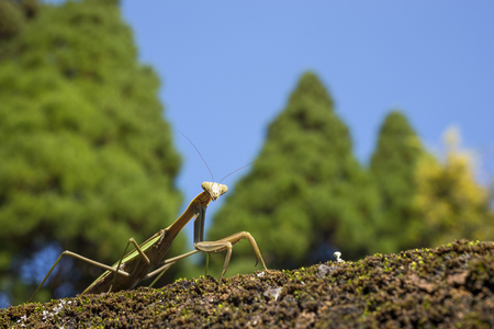 Green praying mantis in front of green forest under blue sky Stok Fotoğraf
