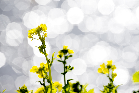 Yellow cole flowers in front of rounded polygon blurred glitters Stock Photo