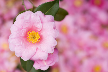 Pink camellia flower over the blurred pink fallen flowers stock pink camellia flower over the blurred pink fallen flowers stock photo 105471256 mightylinksfo