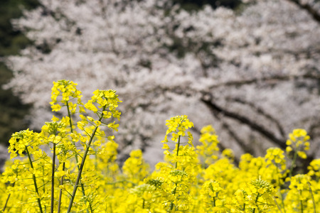 Yellow cole flower field in front of blurred cherry blossoms Banque d'images - 106931070