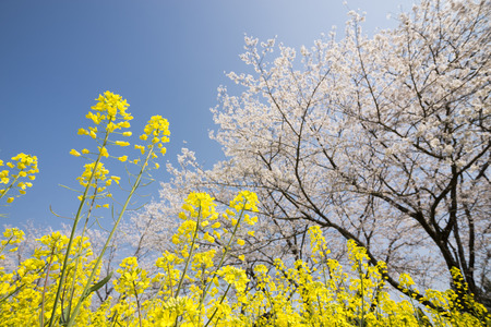 Yellow cole flower field in front of cherry blossoms under blue sky Banque d'images - 106931071
