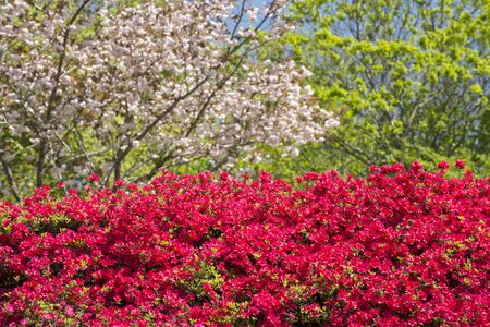 Red azalea flowers in front of double cherry blossoms Banque d'images - 132739549