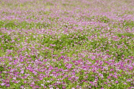 Pink milk vetch flowers covering the whole surface of ground Banque d'images - 132739575