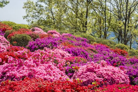 Colorful azalea flower garden in front of lined green trees Banque d'images - 132739661