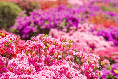 Pink azalea flowers in front of colorful flower garden Banque d'images - 132739754
