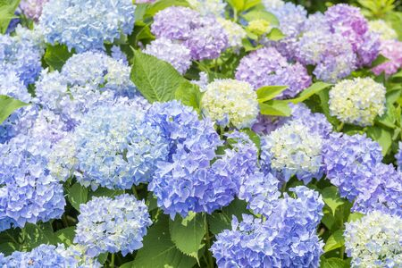 Colorful bright hydrangea flowers blossoming all over