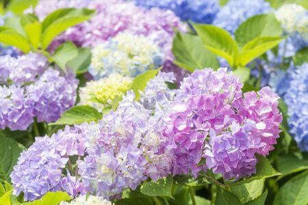 Colorful bright hydrangea flowers with fresh green leaves Zdjęcie Seryjne