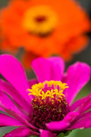 Close up pink zinnia flower in front of orange flower