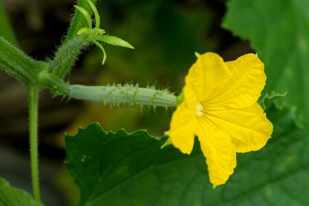 Bright yellow cucumber flowers with ovary in front of green leaf 版權商用圖片